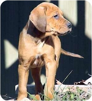 Redbone Coonhound Mix Puppy for adoption in Dallas, Texas - Winter Wonderland - Chestnut