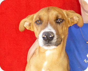 Labrador Retriever/Golden Retriever Mix Puppy for adoption in Oviedo, Florida - Eric