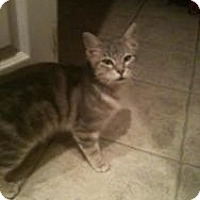 Adopt A Pet :: Kitty - Justin, TX