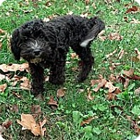 Adopt A Pet :: Raven - Brattleboro, VT