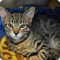 Adopt A Pet :: Juju - Island Park, NY