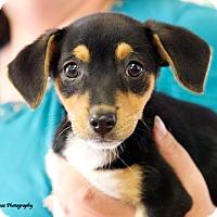 Adopt A Pet :: Ella - Knoxville, TN