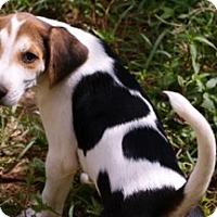 Adopt A Pet :: Arrow (sharp) - Hagerstown, MD