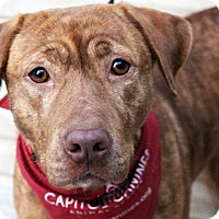 Adopt A Pet :: Stella - Washington, DC