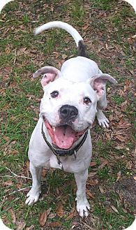 American Bulldog Mix Dog for adoption in Port Charlotte, Florida - Chevy