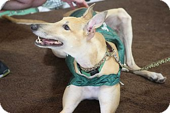 Greyhound Dog for adoption in Brandon, Florida - Zaty