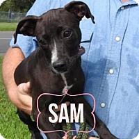Adopt A Pet :: Samantha - Tampa, FL