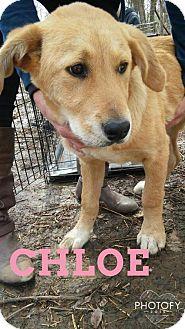 Golden Retriever/Great Pyrenees Mix Puppy for adoption in Broken Arrow, Oklahoma - Chloe