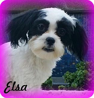 Shih Tzu/Havanese Mix Puppy for adoption in Anaheim Hills, California - Elsa