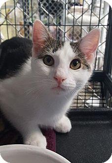 Domestic Shorthair Kitten for adoption in Freeport, New York - Loki