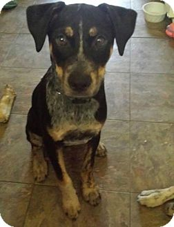 Cattle Dog Mix Dog for adoption in Frisco, Texas - Bubba