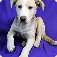 Adopt A Pet :: YAHOO - Westminster, CO