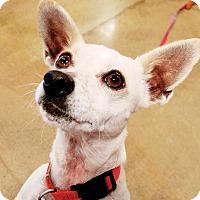 Adopt A Pet :: Ellie - Monrovia, CA
