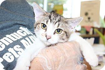 Domestic Mediumhair Kitten for adoption in Louisville, Kentucky - Ava