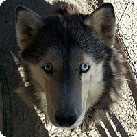 Siberian Husky Dog for adoption in Las Vegas, Nevada - Sheba