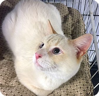 Siamese Cat for adoption in Brooklyn, New York - Snoopy the Flame Point Siamese