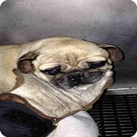Adopt A Pet :: PUGNANIMUS - San Antonio, TX