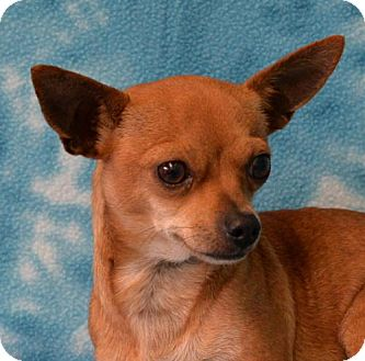 Chihuahua Mix Dog for adoption in Eureka, California - Cosette