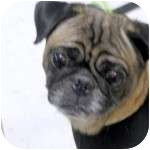 Pug Dog for adoption in Windermere, Florida - Shadow