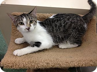 Domestic Shorthair Kitten for adoption in Chandler, Arizona - Buddy