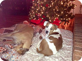 Labrador Retriever/Bulldog Mix Dog for adoption in Homewood, Alabama - Isabella