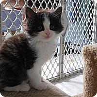 Adopt A Pet :: Thor - CARVER, MA