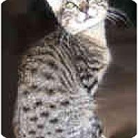 Adopt A Pet :: Laos - Dallas, TX