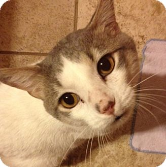 Domestic Shorthair Cat for adoption in O'Fallon, Missouri - Smudge