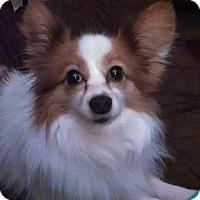 Adopt A Pet :: Shaw - Plainfield, IL