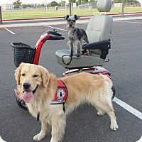 Adopt A Pet :: Bravo. Trained Service Dog - Phoenix, AZ
