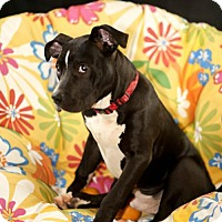 Adopt A Pet :: Patrick - West Orange, NJ