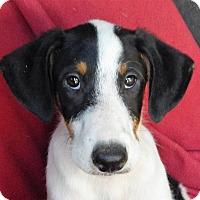Adopt A Pet :: COME MEET Preston - Westport, CT