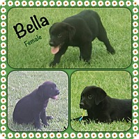 Adopt A Pet :: Bello-pending adoption - Manchester, CT