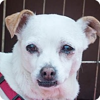 Rat Terrier/Italian Greyhound Mix Dog for adoption in San Marcos, California - Sweetie
