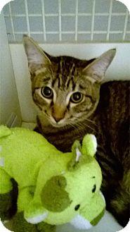 Domestic Shorthair Kitten for adoption in Brea, California - SIMBA