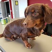 Adopt A Pet :: SASSY GIRL - Lubbock, TX