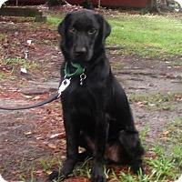 Flat-Coated Retriever Mix Dog for adoption in Murrells Inlet, South Carolina - Coal
