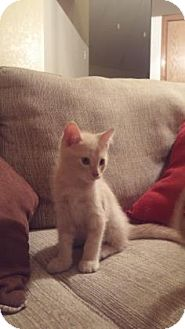 Domestic Shorthair Kitten for adoption in Fort Collins, Colorado - Ponderosa