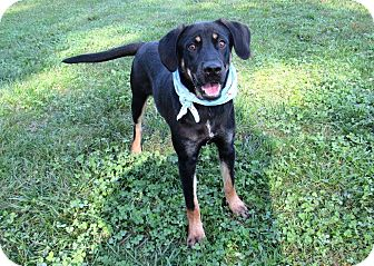 Black and Tan Coonhound Mix Dog for adoption in Lexington, North Carolina - COREY