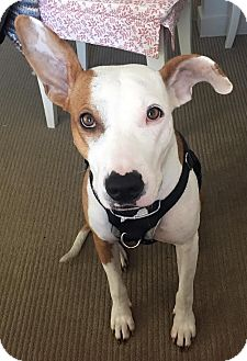 Bull Terrier/Jack Russell Terrier Mix Dog for adoption in Surrey, British Columbia - Daisy