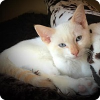Colorpoint Shorthair Kitten for adoption in Merrifield, Virginia - Aero