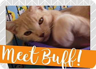 Domestic Shorthair Cat for adoption in Orange, California - Buff