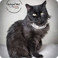 Adopt A Pet :: Saber - Apache Junction, AZ