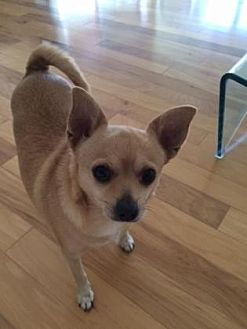 Chihuahua Dog for adoption in Scottsdale, Arizona - Marge