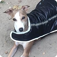 Adopt A Pet :: Piggy - Croton, NY