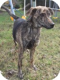 Plott Hound Dog for adoption in Harrisonburg, Virginia - Apollo (Urgent) $150 off