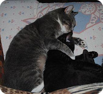 American Shorthair Kitten for adoption in Waxhaw, North Carolina - Marlie