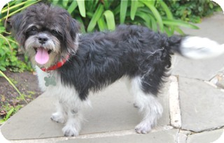 Shih Tzu/Poodle (Miniature) Mix Dog for adoption in Norwalk, Connecticut - Dempsey