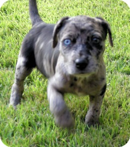 Catahoula Leopard Dog/Labrador Retriever Mix Puppy for adoption in Homewood, Alabama - Leon