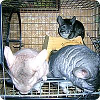 Adopt A Pet :: Spike, Angel & Buffy - Granby, CT